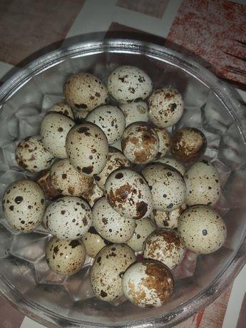 Перепилині яйця,курячі,цесарки,пельмені,торгоня,кролики