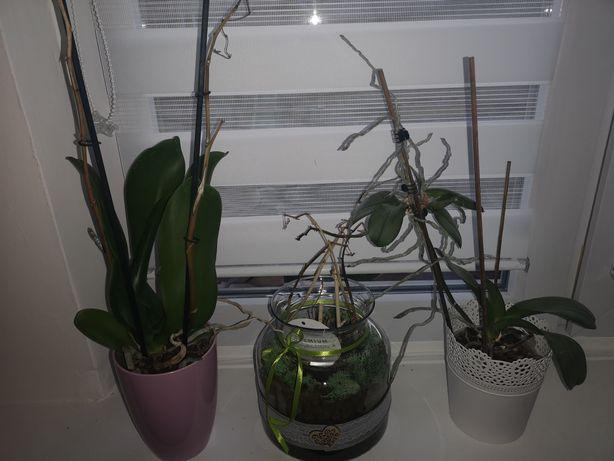 Kwiatki storczyki do rozsadzenia