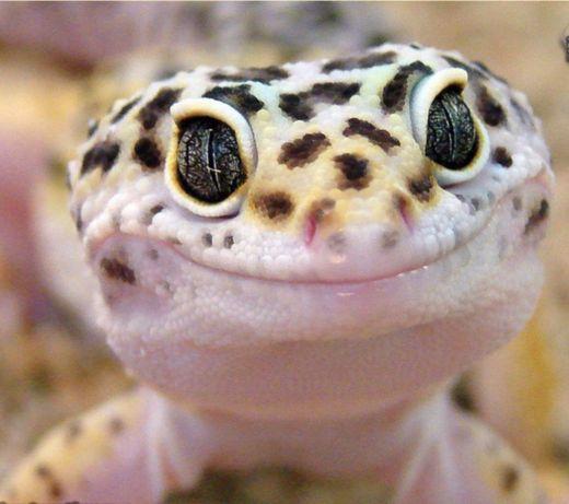 Леопардовый гекончик