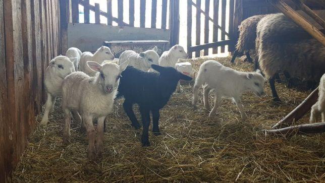 Jagnięta, Owce