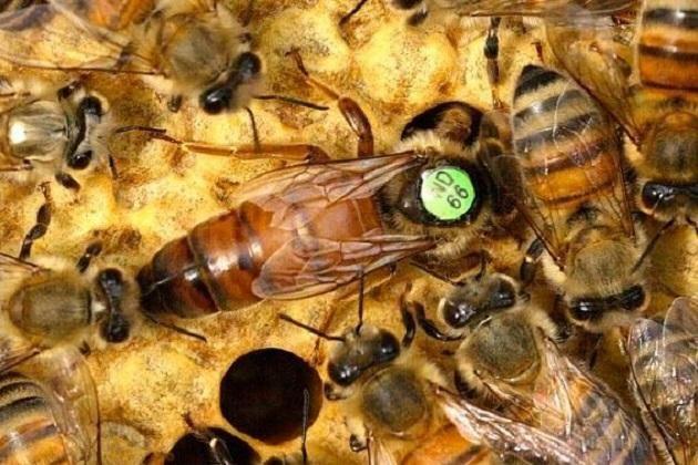 бджолопакети з маткою Бакфаст