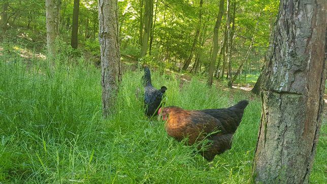 Jaja ekologiczne. Świerklany  1 zł