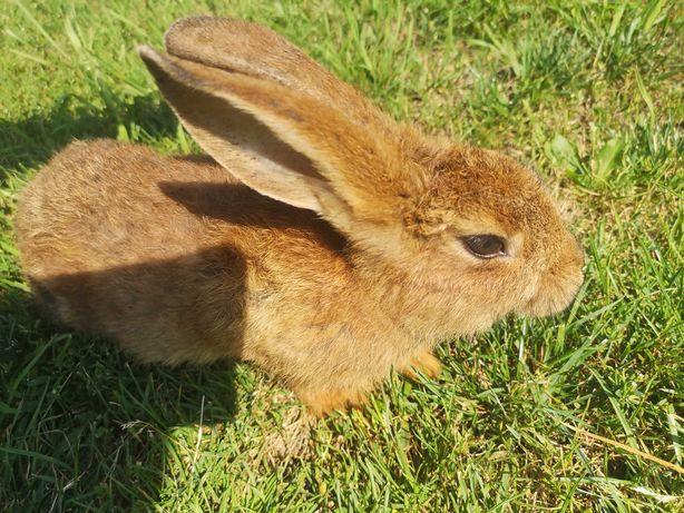 Sprzedam małe króliczki