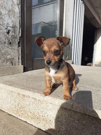 Cachorrinho Pincher bebê