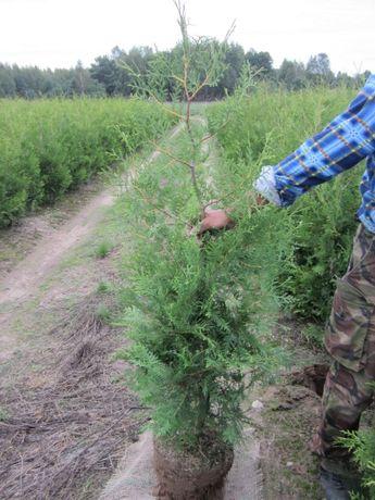 tuja tuje Brabant krajowa 180 cm i inne (transport/ sadzenie)