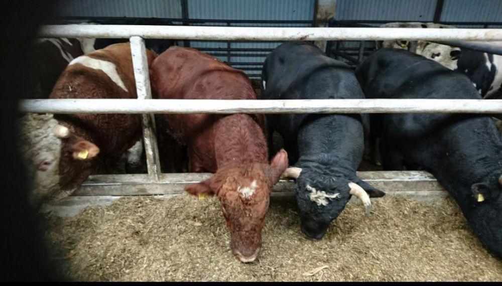 Sprzedam krowę, krowa, krowy, jałówka, jałówki ,byk, byki WBC Janów Lubelski - image 1