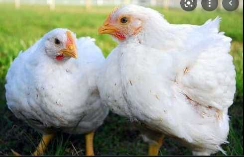 яйця для інкубації . бройлер РОСС-308