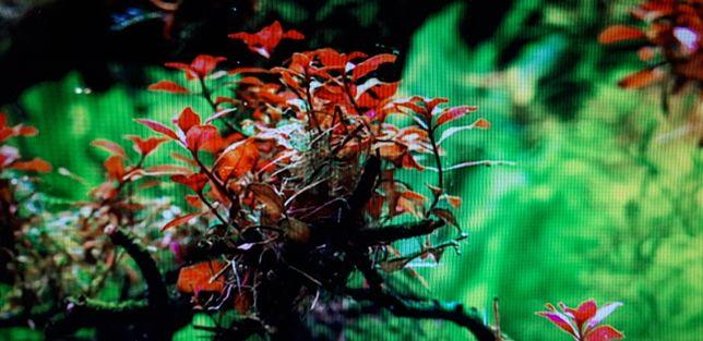 Ludwiga mini super red