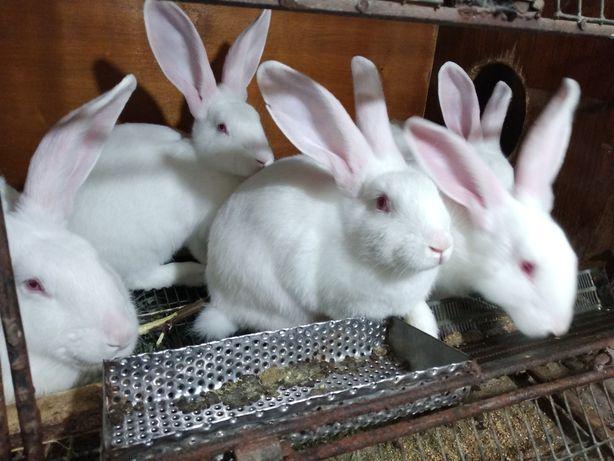 Кролики термонская белая