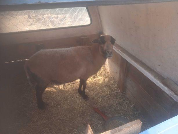 Sprzedam owce lub zamienię