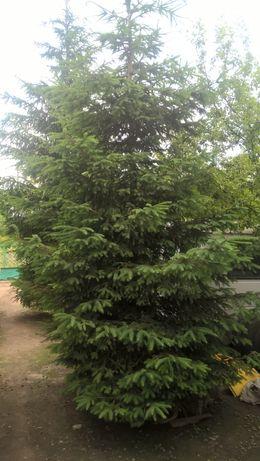 Ялинки зелені живі 8-10 м