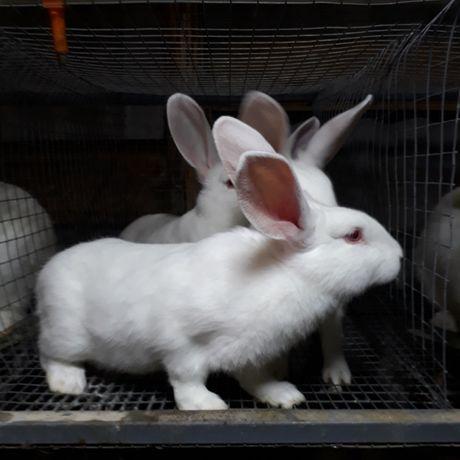 Продам кролів термонська біла та білий панон