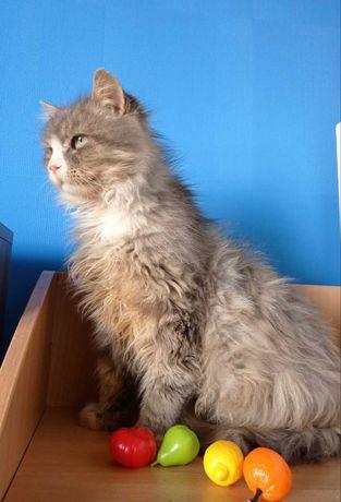 Серебристый пушистый кот - счастливый поворот