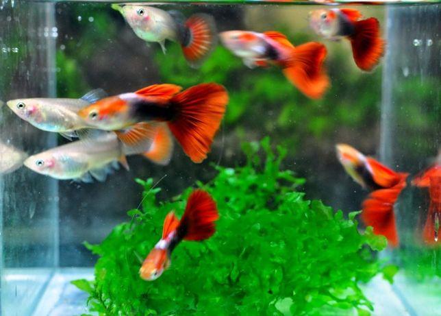 Продам Рыбки - гуппи