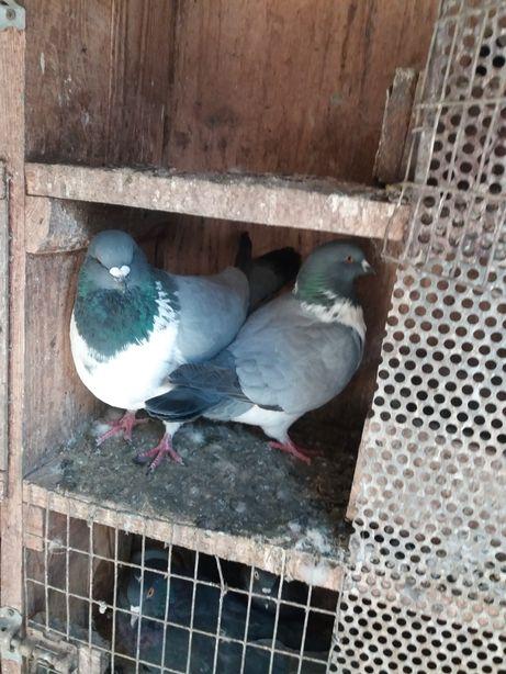 голуби штрассеры пара