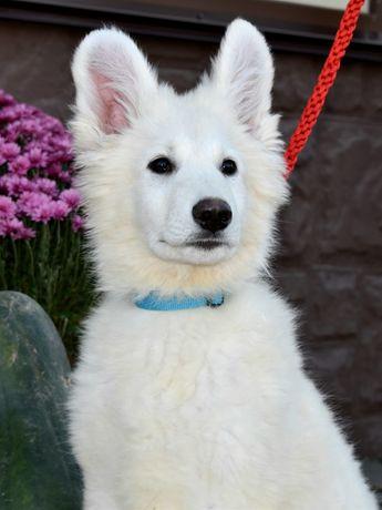 МишкиБШО/ Белая Белая Швейцарская овчарка