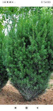Cis wys. 2 m,krzewy 15 letnie