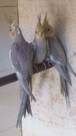Papugi nimfy z 2021r.