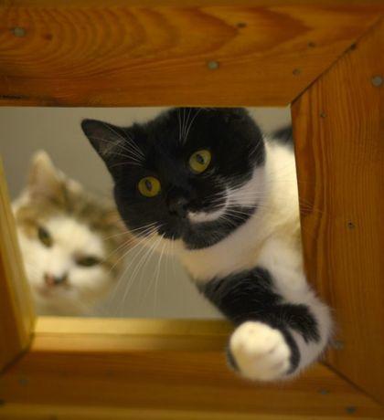 Duża kocica Elza - grzeczna i miła kotka