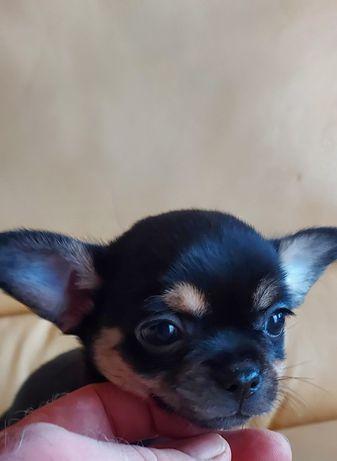 Chihuahua   de grande  Qualidade