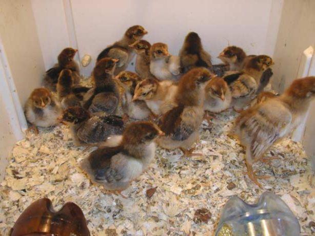 Продам подросших цыплят