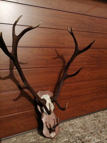Poroże jelenia na desce