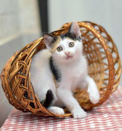 Отдам котят, трехцветные девоки, 2 месяца
