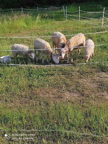 Owce swiniarki tanio