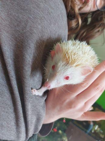 Sprzedam jeż Albinos pigmejski