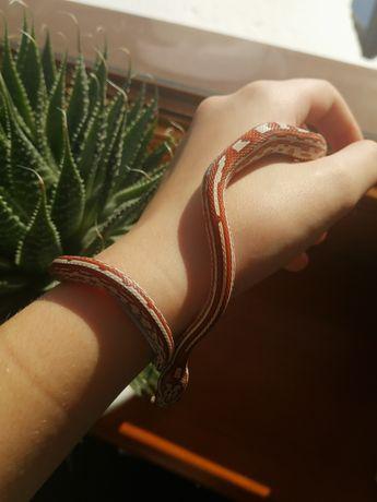Wąż zbożowy Pantherophis guttata Ultramel Tessera