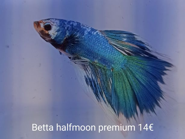 Bettas halfmoon varias cores