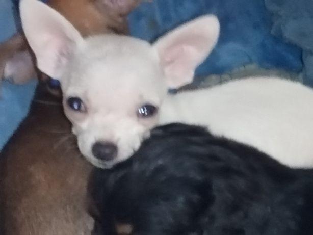Chihuahua -mini biały piesek