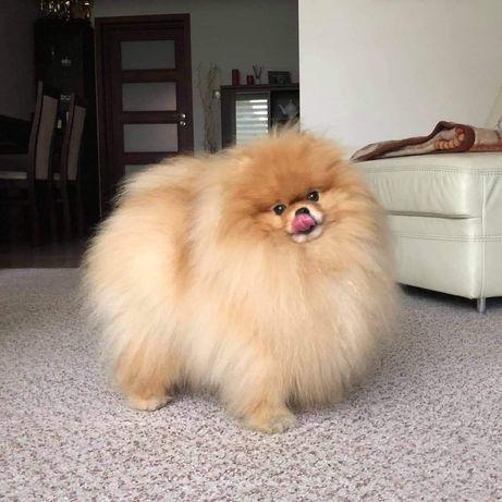 Hodowla psów rasowych Pomeranian Szpic miniaturowy FCI