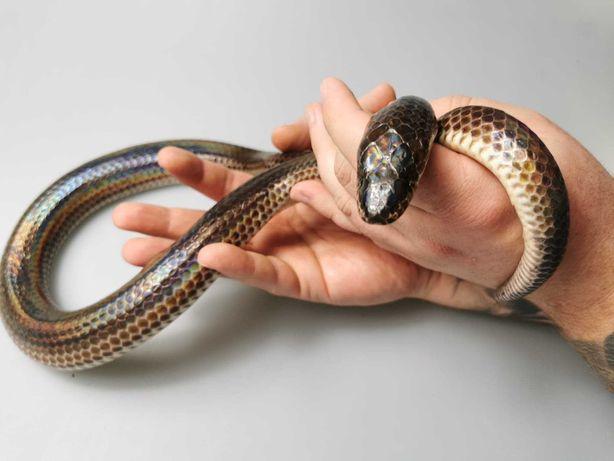 Wąż Xenopeltis unicolor Tęczowiec