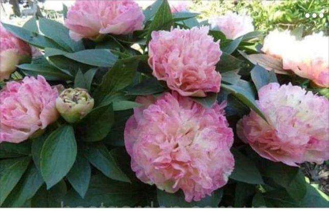 Пионы розового цвета.