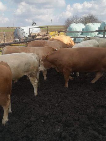Bydło rzeźne. Byki krowy jalówki