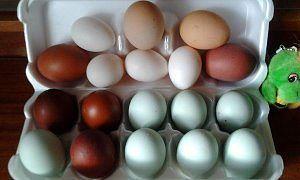 14 пород кур инкубационное яйцо.маточное поголовье с Польши