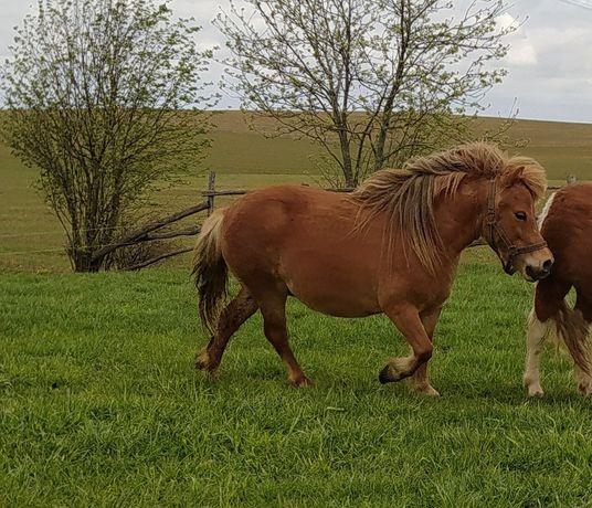 Konie młoda  klacz