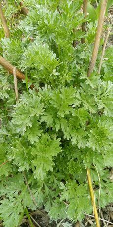 Bylica piolun absynt panienskie ziele sadzonka w doniczce