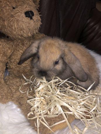 Декоративний висловухий кролик:Карликовий Баранчик
