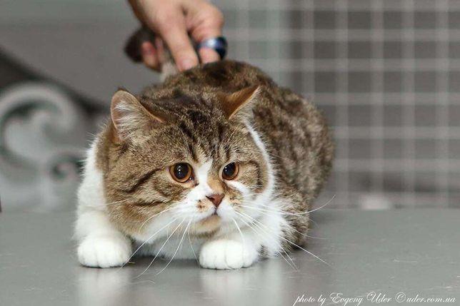 Шикарный шотландский кот приглашает на свидание!