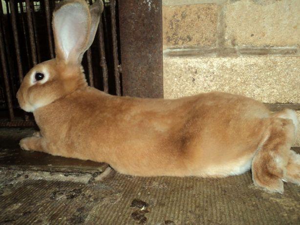 Продам кролика рекс абрикосовый