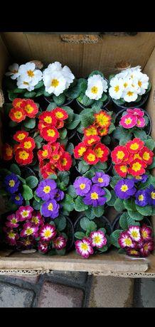 ПРИМУЛА ОПТ КРОКУС цветы 8 марта