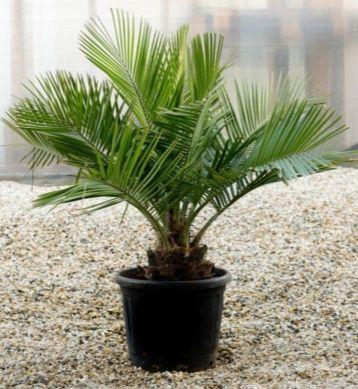 Notável palmeira coquito chilena ou Jubaea chilensis de 1 metro