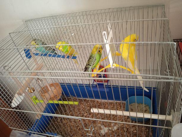 Papugi Faliste 2 pary