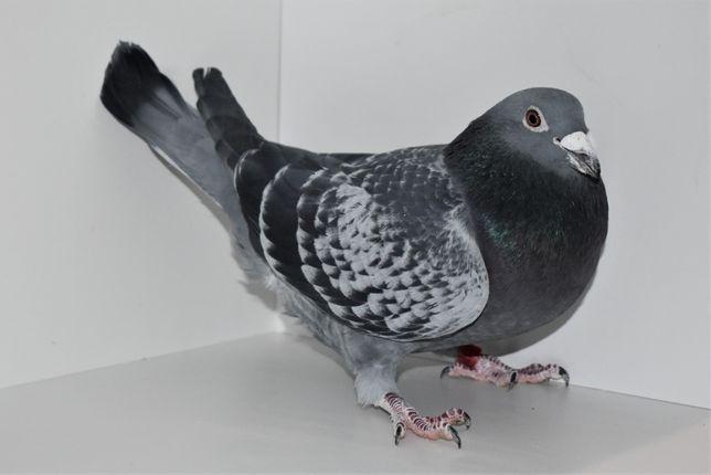 Gołębie pocztowe FABRY