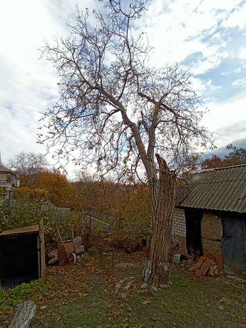 Орех под спил на дрова, бесплатно