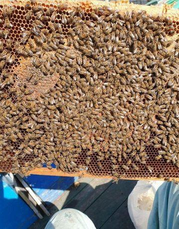 Предлагаю В любом количестве (Бджоломатки) Buckfast 2021 г F-1