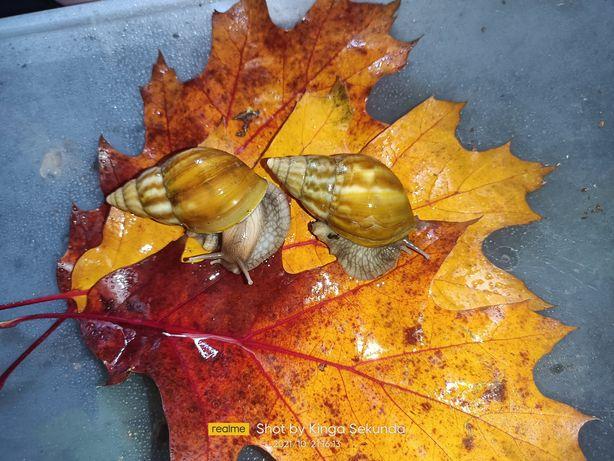 Ślimak afrykanski Lissachatina fulica caramel light