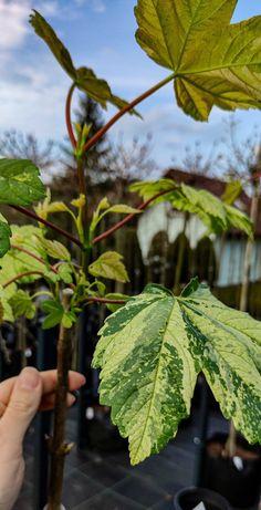 Klon jawor Acer pseudoplatanus 'Nizetti' szczepiony na pniu